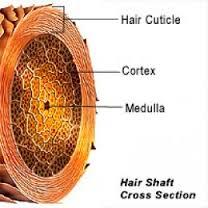 hairshaft2